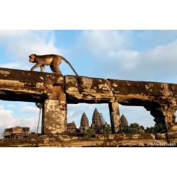 Macaque au temple de Angkor Vat