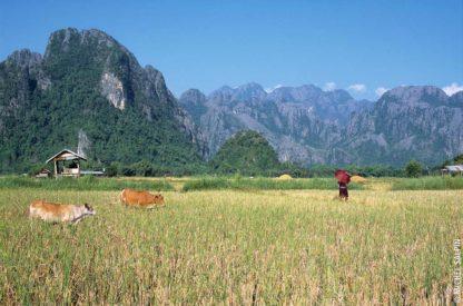 Rizières et montagnes à Vang-Vieng au Laos