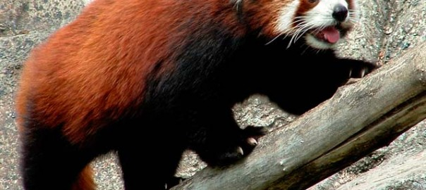 Le panda roux, emblême du navigateur Firefox