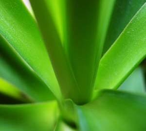 yuca, plante